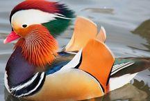 patos increíbles