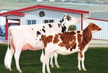 HolsteinWorld / HolsteinWorld  / by HolsteinWorld DairyBusiness