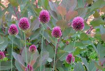 Allium Combinations / Plant partnerships that include alliums (also known as ornamental onions)