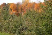 Verger Micheline et Jacques Despots / Le Verger Micheline et Jacques Despots, une entreprise familiale, est un site agréable pour l'autocueillette de pommes, prunes et de cerises de terre. L'entreprise produit également des poires, des oignons espagnols et de l'ail du Québec.
