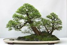 Chinese elm forest