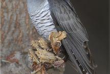 cockoo