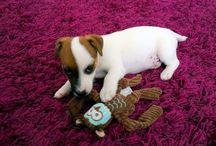 Mindhunter Ripley - Papu / Papu on sileäkarvainen jackrussellinterrieri, syntynyt 3.7.2015