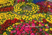 Цветы / Красивые клумбы, кусты роз, деревья в цветах