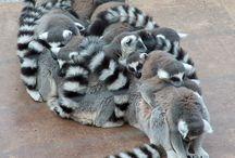 Lemurki / O uroczych, pięknych, miziastych stworkach