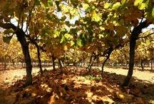 El viñedo / Este es nuestro viñedo, las fincas y los paisajes de Contiempo