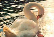 Swan Lake / I love swans, they have a special place in my heart.