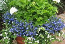 Saksıda çiçek