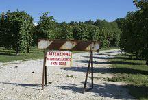 Vendemmia 2013 | Grape Harvest 2013 / harvesting grape in Conegliano Valdobbiadene hills