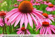 Herbs: Echinacea