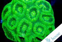 Koralowce LPS