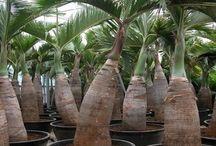 Palmiers / Vente de Palmiers
