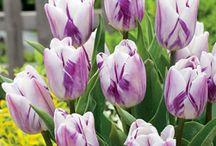 Tulip Sinfony 2