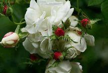 * Roses *