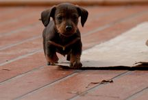 dachshunds  / by Heather