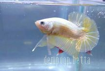 my fish / Sell betta from Indonesia to worldwide Ready Halfmoon, crowntail, Hmpk Ready wholesale Price  Accept PayPal
