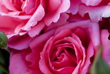 Rosas Floribundas.