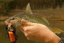 PEIXES / Peixes, Pescarias e conservação ambiental dos ambientes lóticos e lênticos.
