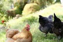 Chickens-Raising