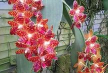 Phalaenopsis giggantea