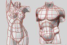 Anatomy - Torso