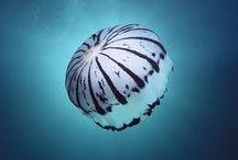 Jellyfisheries