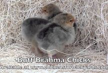 Buff Brahma