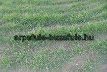 Búzafű termesztése / Mi így termsztjük a búzafűvet