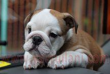 Satılık İngiliz Bulldog / Satılık İngiliz Bulldog Yavru ilanlarımız