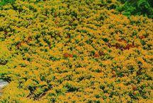 plants_conifers