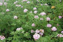 Αρωματικα φυτα - Λικερ