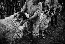 Cumbrian Native Animals / Cumbrian and Lake District Native Breeds