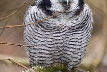 Owls / Everything Owl