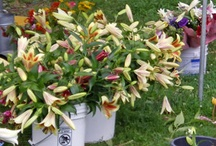 Summer in bloom / June, July and August flowers blooming at Lilies and Lavender / by Laughing Lady Flower Farm