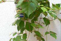 rostliny - Cissus rhombifolia