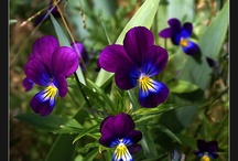 Pansy / My fave flower