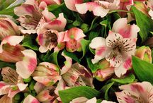 Alstroemeria / A selection of Alstroemeria from New Covent Garden Flower Market in April 2014