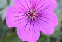 Plant - Geranium