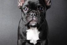 bulldog francies MK