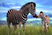 Zebras & Leopards