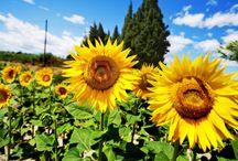 Solrosor + TIPS på städning osv osv