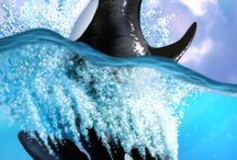 Orca Love / by Suzanne Rose