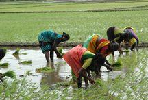 Kerala - Paddy Fields