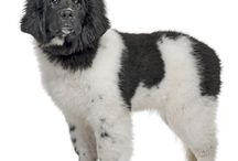 Newfoundland / The Newfoundland developed on the island from which it takes its name in Canada. It is almost certainly a combination of the ancient, native Indian dogs and the many European breeds, which were carried across the Atlantic by explorers and fishermen from the 15th century onwards. - See more at: http://www.noahsdogs.com/m/dogs/breed/Newfoundland#sthash.viwoIPS5.dpuf