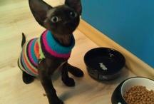 Patrick, my Devon Rex cat