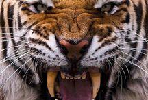 Животинки (тигры, волки,собаки...)