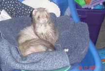 Carpet sharks / Fuzzy snakes, speed bumps, whatever you call them.  They are simply the cutest critters alive.  I have been mommy to a total of 9.  I have cried, laughed, and loved.  They are FERRETS!
