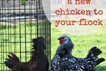 Chickens!!!! / by Nicole {OrWhateverYouDo}