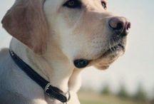 Labrador Retriever Tales
