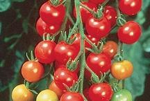 tomato market varieties